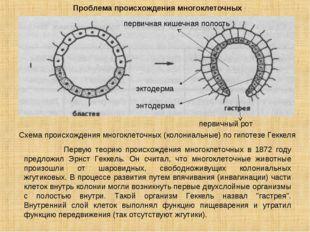 Проблема происхождения многоклеточных Схема происхождения многоклеточных (кол