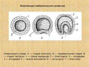 Инвагинация (эмбриональное развитие) Инвагинация (схема): А — стадия бластулы