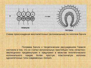 Схема происхождения многоклеточных (колониальные) по гипотезе Бючли Поправка