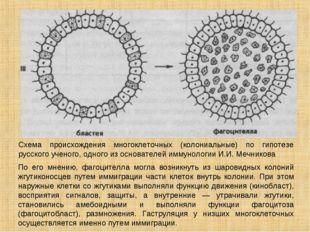 Схема происхождения многоклеточных (колониальные) по гипотезе русского ученог