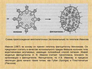 Схема происхождения многоклеточных (колониальные) по гипотезе Иванова Иванов