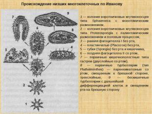 1 — колония воротничковых жгутиконосцев типа Sphaeroeca с монотомическим разм