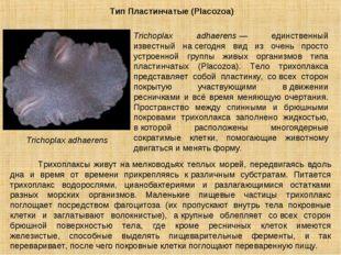 Тип Пластинчатые (Placozoa) Trichoplax adhaerens Trichoplax adhaerens— единс