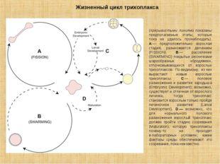 Жизненный цикл трихоплакса (прерывистыми линиями показаны предполагаемые этап
