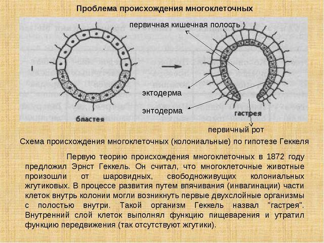 Проблема происхождения многоклеточных Схема происхождения многоклеточных (кол...