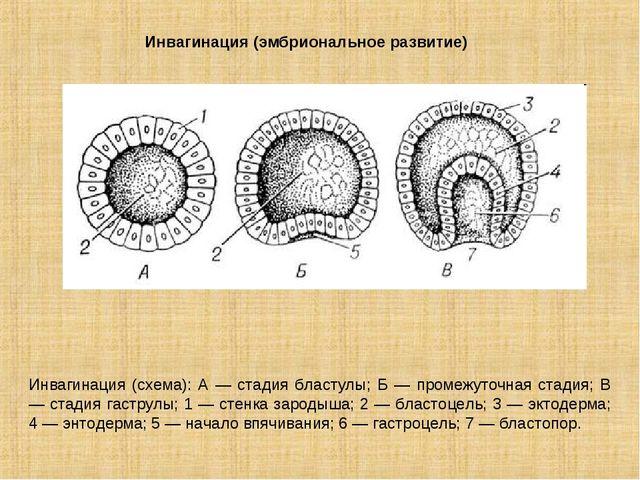 Инвагинация (эмбриональное развитие) Инвагинация (схема): А — стадия бластулы...
