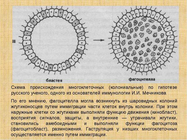 Схема происхождения многоклеточных (колониальные) по гипотезе русского ученог...