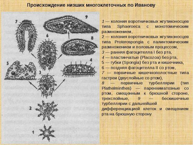 1 — колония воротничковых жгутиконосцев типа Sphaeroeca с монотомическим разм...
