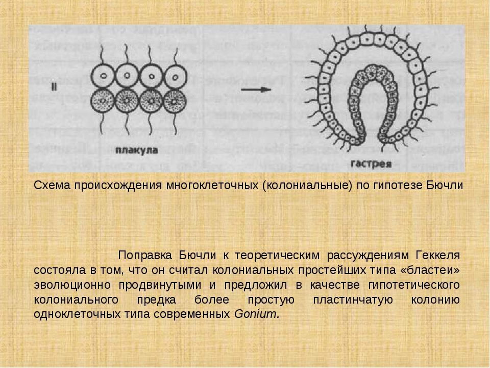 Схема происхождения многоклеточных (колониальные) по гипотезе Бючли Поправка...