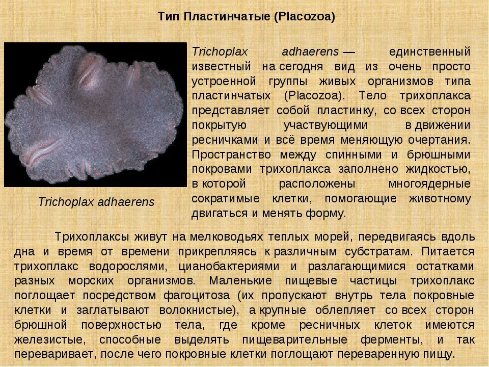 Тип Пластинчатые (Placozoa) Trichoplax adhaerens Trichoplax adhaerens— единс...