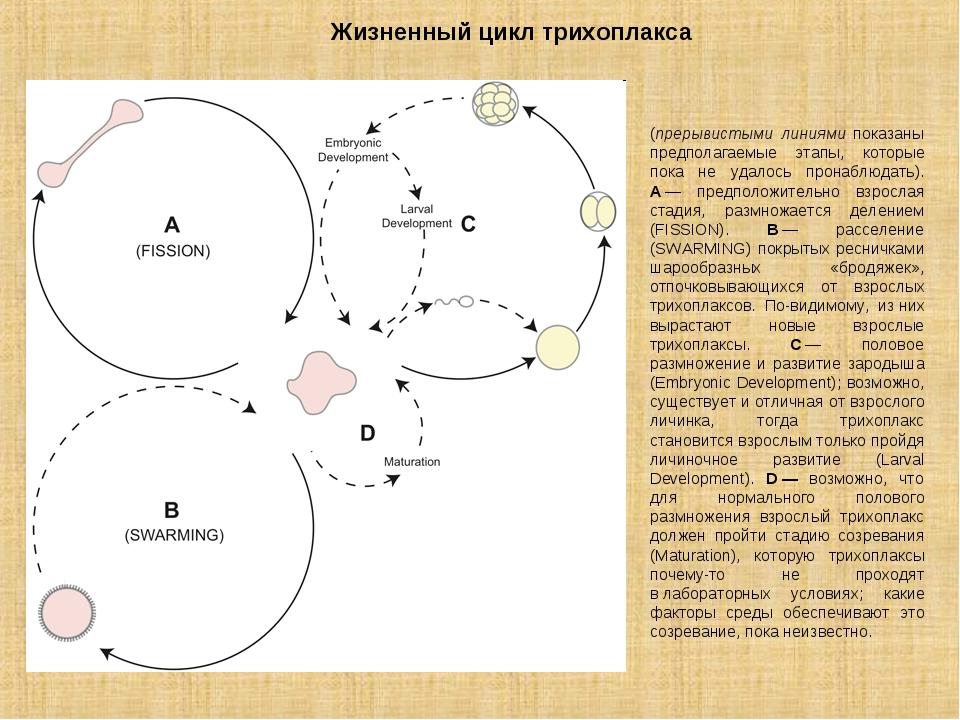 Жизненный цикл трихоплакса (прерывистыми линиями показаны предполагаемые этап...