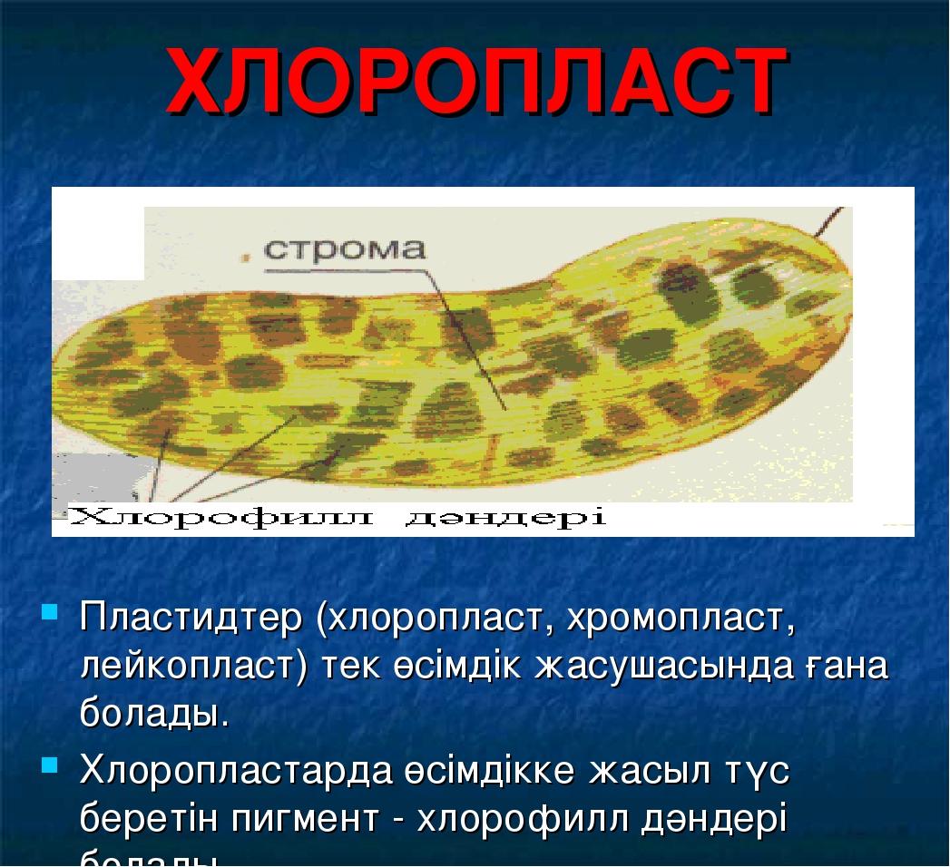 ХЛОРОПЛАСТ Пластидтер (хлоропласт, хромопласт, лейкопласт) тек өсімдік жасуша...