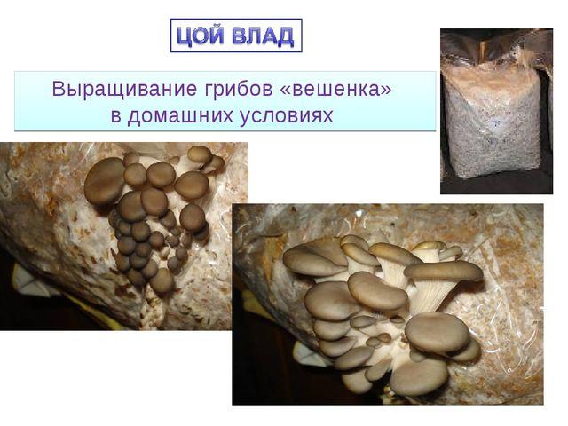Выращивание грибов «вешенка» в домашних условиях