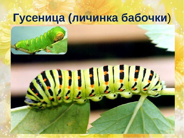 Гусеница (личинка бабочки)