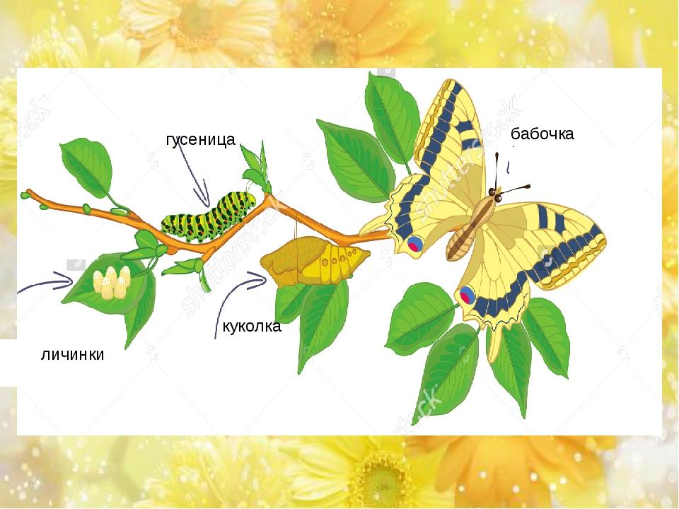 личинки гусеница куколка бабочка