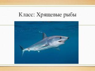 Класс: Хрящевые рыбы