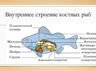 Внутреннее строение костных рыб
