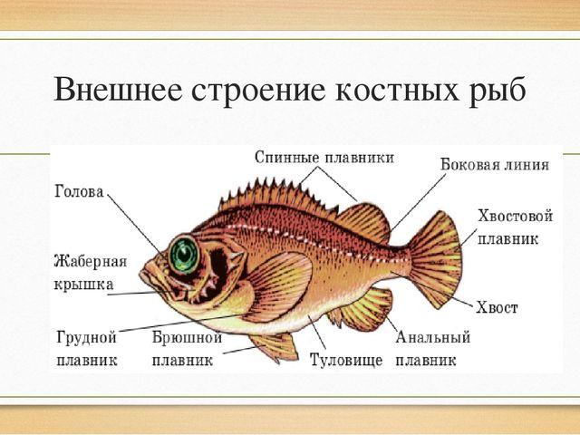 Внешнее строение костных рыб