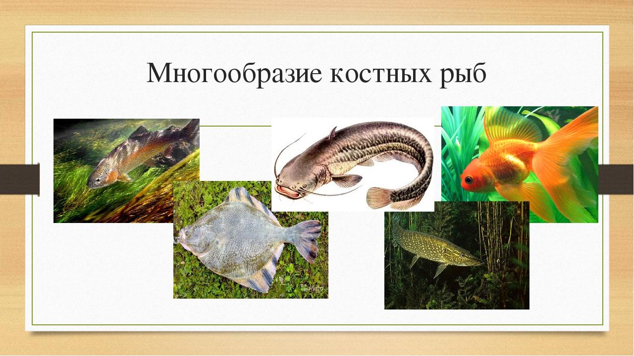 Многообразие костных рыб