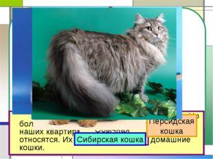 На свете около 60 разных пород кошек. Но большинство тех кошек, которые жив