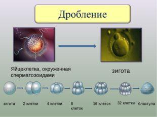 Яйцеклетка, окруженная сперматозоидами зигота зигота 2 клетки 4 клетки 8 клет