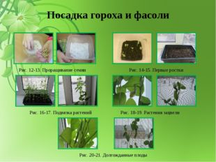 Посадка гороха и фасоли Рис. 12-13. Проращивание семян Рис. 14-15. Первые рос
