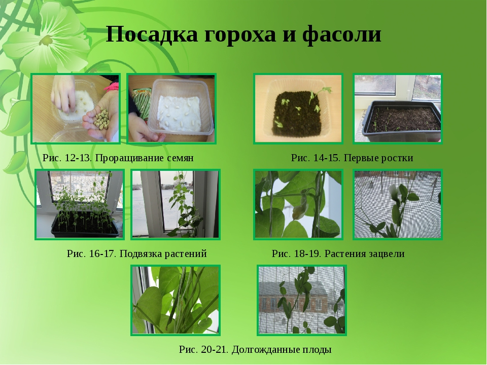 Посадка гороха и фасоли Рис. 12-13. Проращивание семян Рис. 14-15. Первые рос...