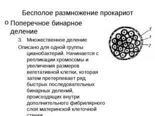 Бесполое размножение прокариот Поперечное бинарное деление Множественное деле