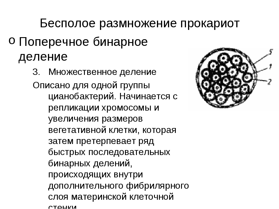 Бесполое размножение прокариот Поперечное бинарное деление Множественное деле...