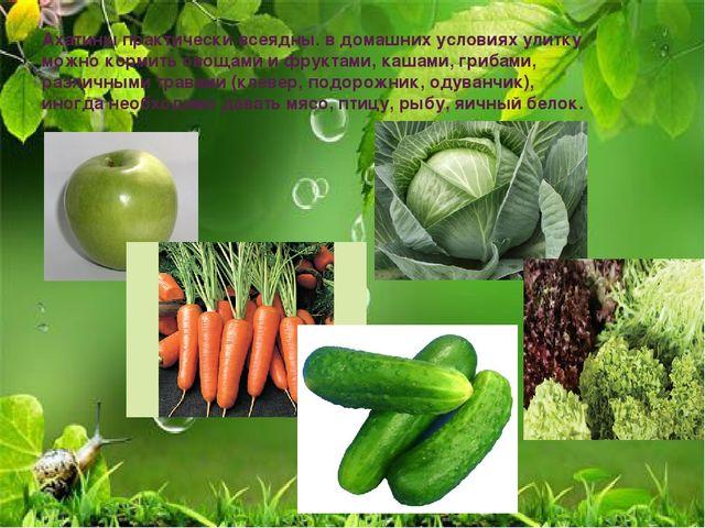 Ахатины практически всеядны. в домашних условиях улитку можно кормить овощами...