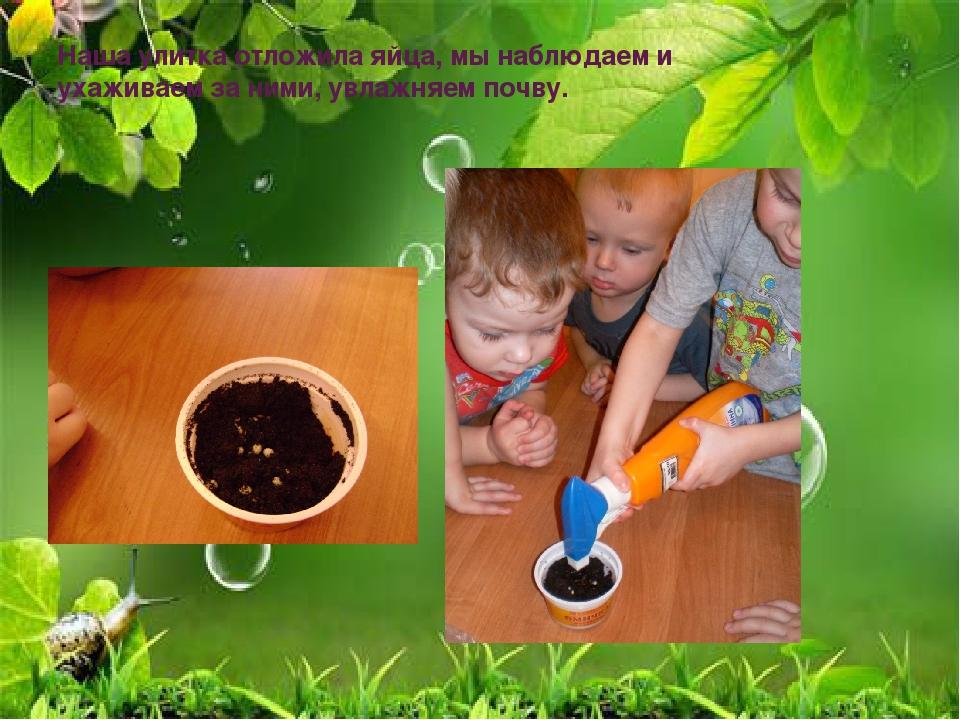 Наша улитка отложила яйца, мы наблюдаем и ухаживаем за ними, увлажняем почву.