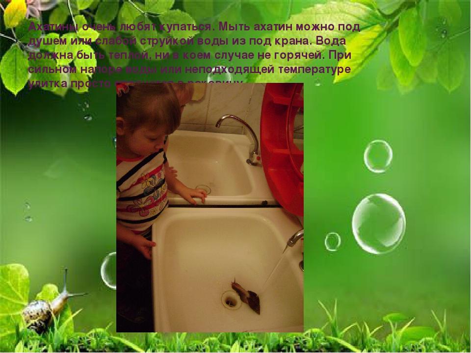Ахатины очень любят купаться. Мыть ахатин можно под душем или слабой струйкой...