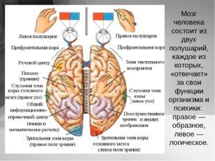 Мозг человека состоит из двух полушарий, каждое из которых, «отвечает» за сво