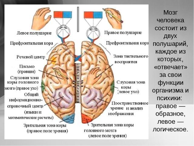 Мозг человека состоит из двух полушарий, каждое из которых, «отвечает» за сво...