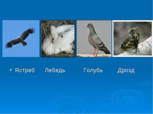 Ястреб Лебедь Голубь Дрозд