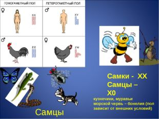 Самцы Самки - ХХ Самцы – Х0 кузнечики, муравьи морской червь – бонелия (пол з