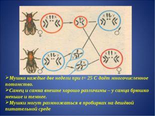 Мушка каждые две недели при t= 25 С даёт многочисленное потомство. Самец и са