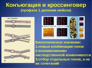 Конъюгация и кроссинговер (профаза 1 деления мейоза) . Биологическое значение