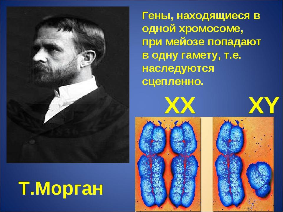 Т.Морган Гены, находящиеся в одной хромосоме, при мейозе попадают в одну гаме...