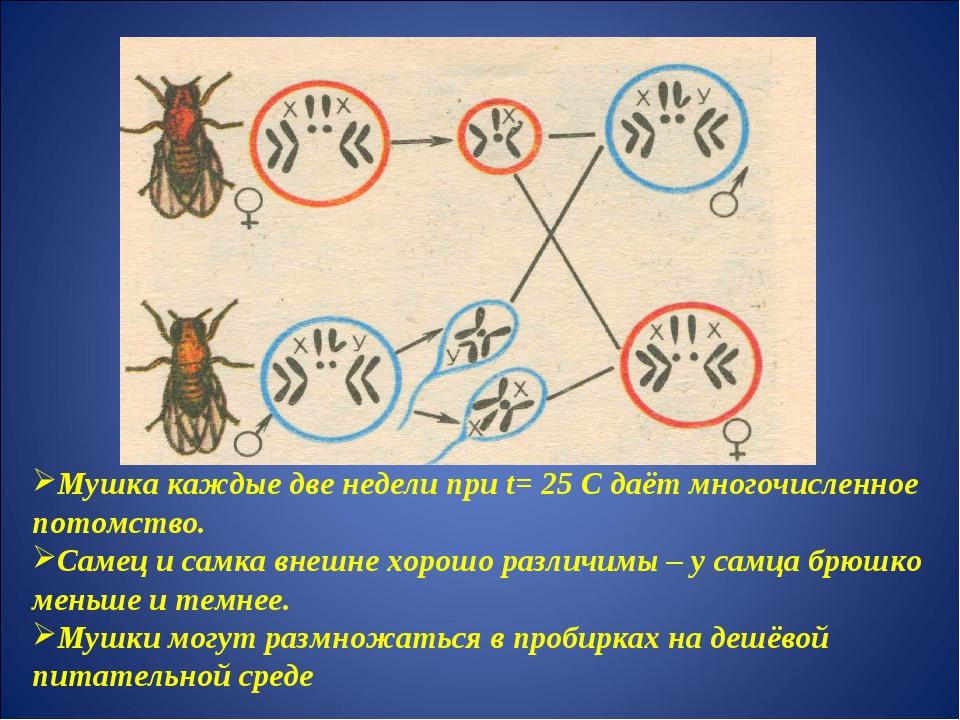 Мушка каждые две недели при t= 25 С даёт многочисленное потомство. Самец и са...