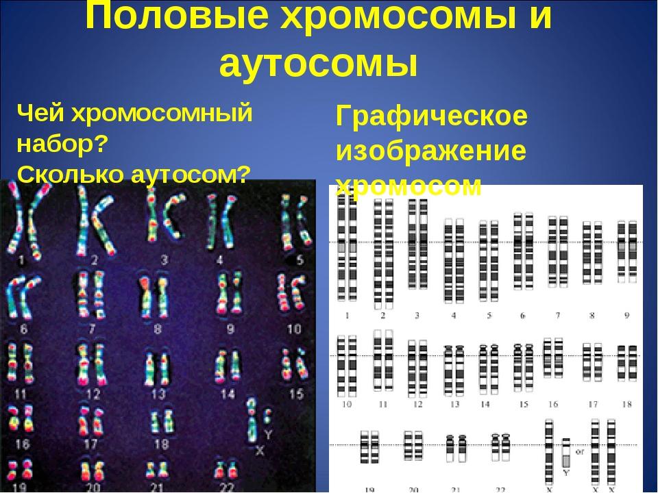 Половые хромосомы и аутосомы Чей хромосомный набор? Сколько аутосом? Графичес...