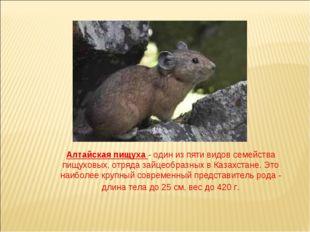 Алтайская пищуха - один из пяти видов семейства пищуховых, отряда зайцеобразн