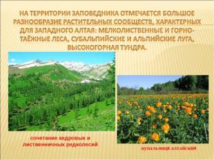 купальница алтайская сочетание кедровых и лиственничных редколесий