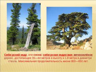 Сиби́рский кедр, или сосна́ сиби́рская кедро́вая- вечнозелёное дерево, достиг