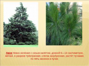 Хвоя тёмно-зелёная с сизым налётом, длиной 6—14 сантиметров, мягкая, в разрез