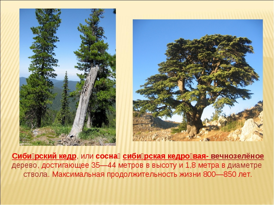 Сиби́рский кедр, или сосна́ сиби́рская кедро́вая- вечнозелёное дерево, достиг...