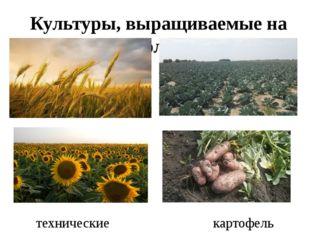 Культуры, выращиваемые на полях зерновые овощные технические картофель