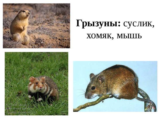 Грызуны: суслик, хомяк, мышь