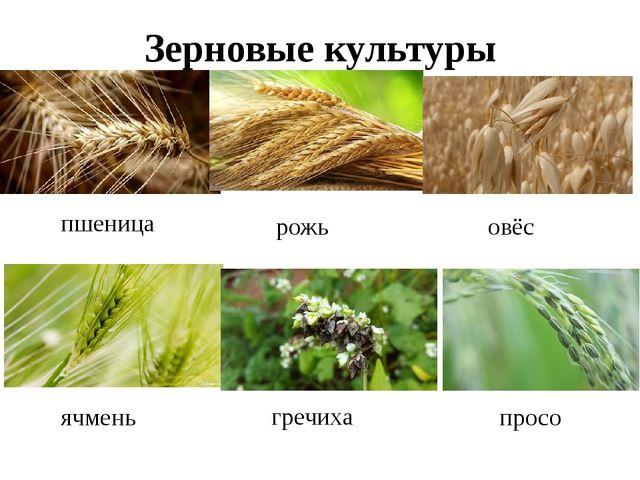 Зерновые культуры пшеница гречиха ячмень овёс рожь просо