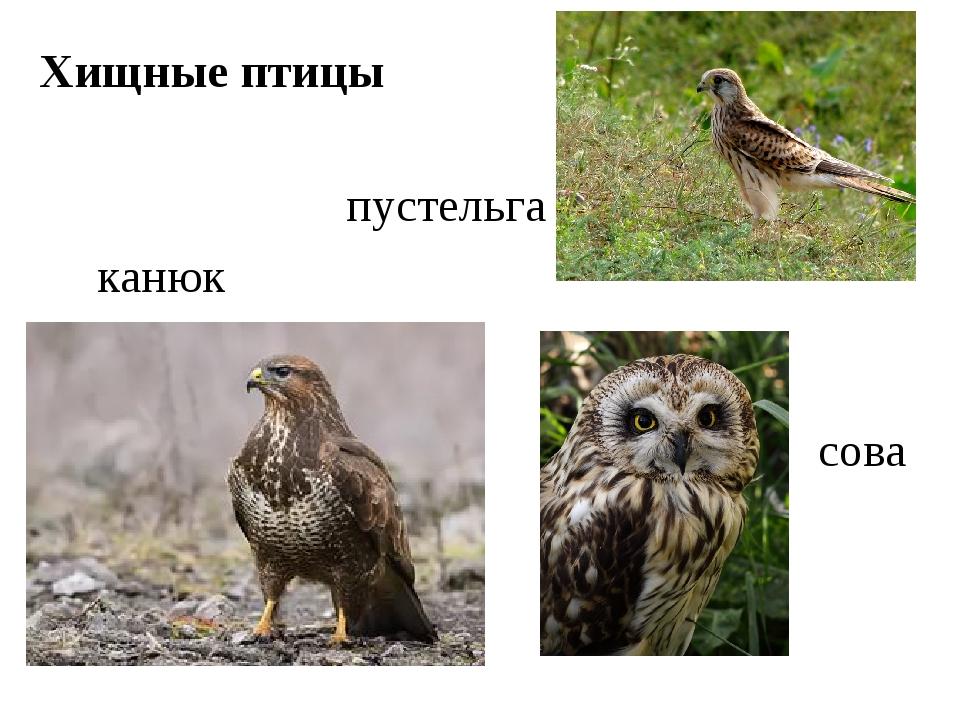 Хищные птицы канюк сова пустельга